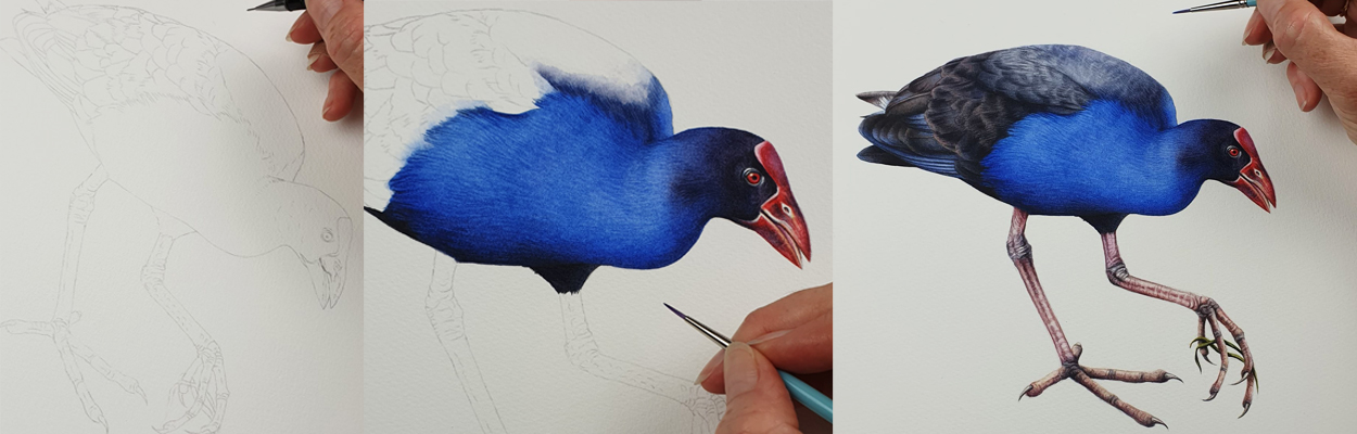 heidi willis_illustrator_artist_bird_waterhen_swamphen_sydney parks