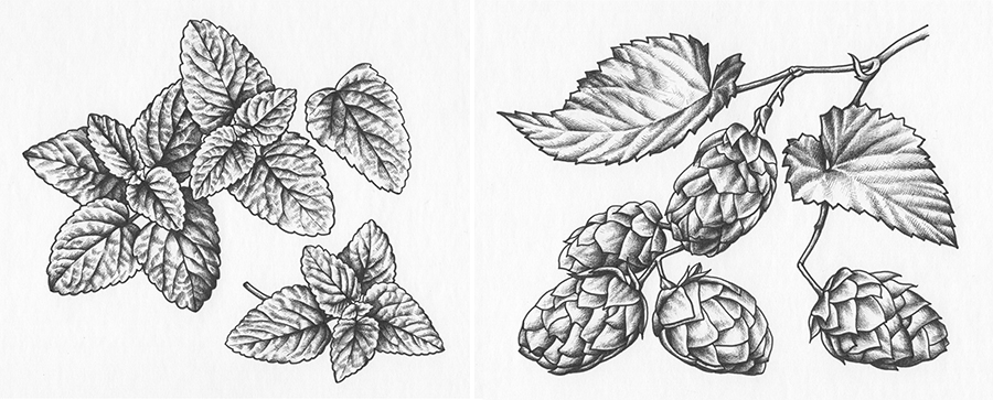 heidi willis_ink illustration_botanical art_graphic design