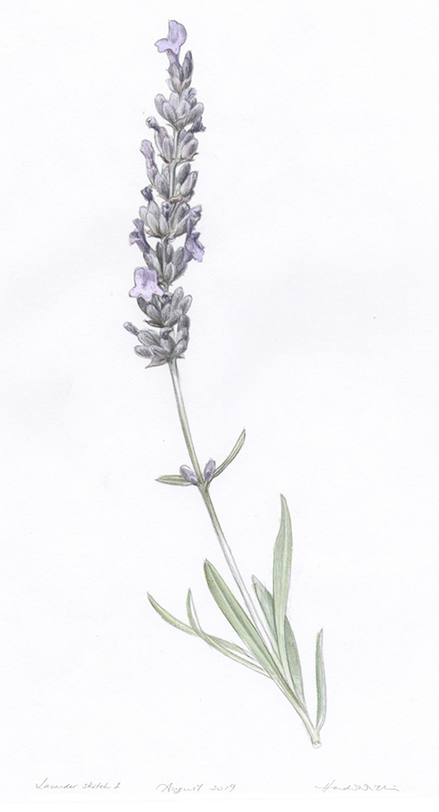 heidi willis_lavender illustration_botanical artist_illustrator