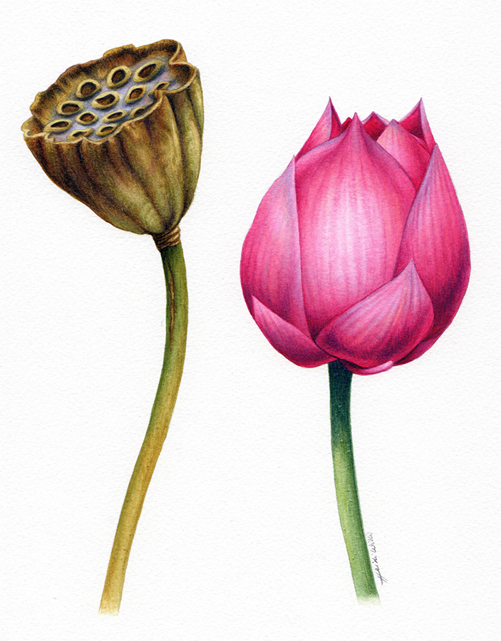 heidi willis_online_painting Tutorial_lotus_watercolour_botanical