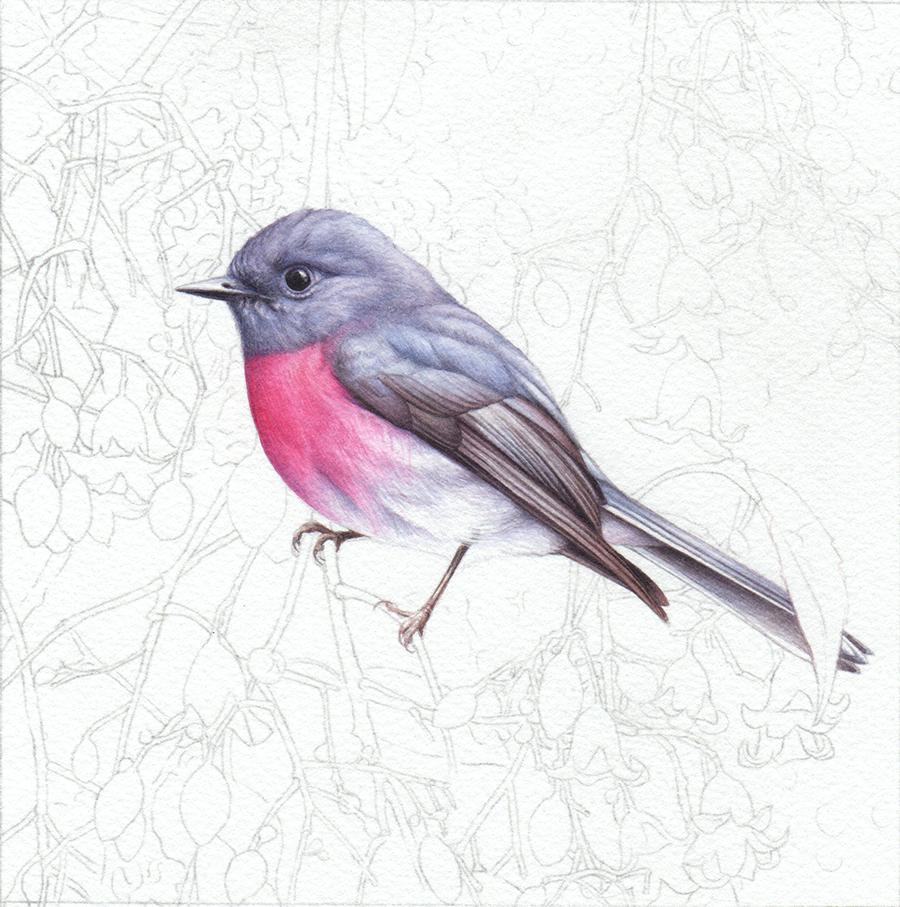 heidi willis_rose robin_brachychiton_bird artist_painting