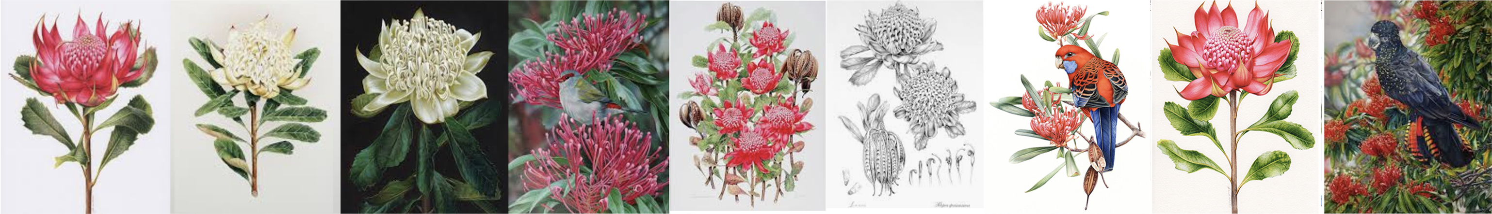 heidi willis_waratah painting_bird artist_botanical illustration