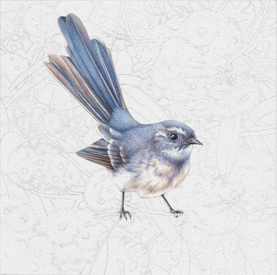 heidi willis_watercolour artist_fantail_australian bird painting