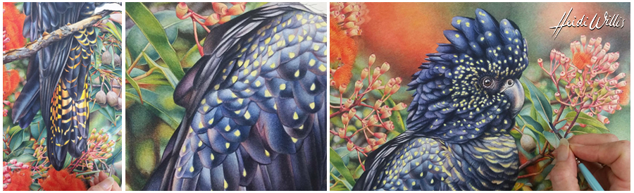 heidi willis_black cockatoo_flowering gum_painting_botanical
