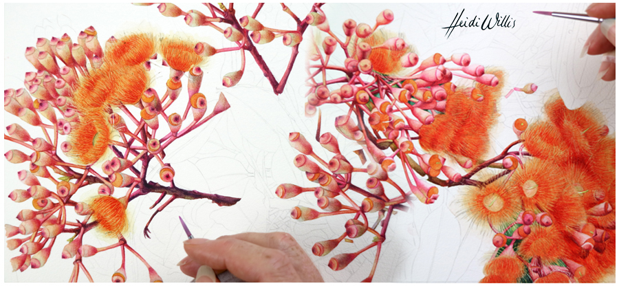 heidi willis_flowering gum_painting_botanical