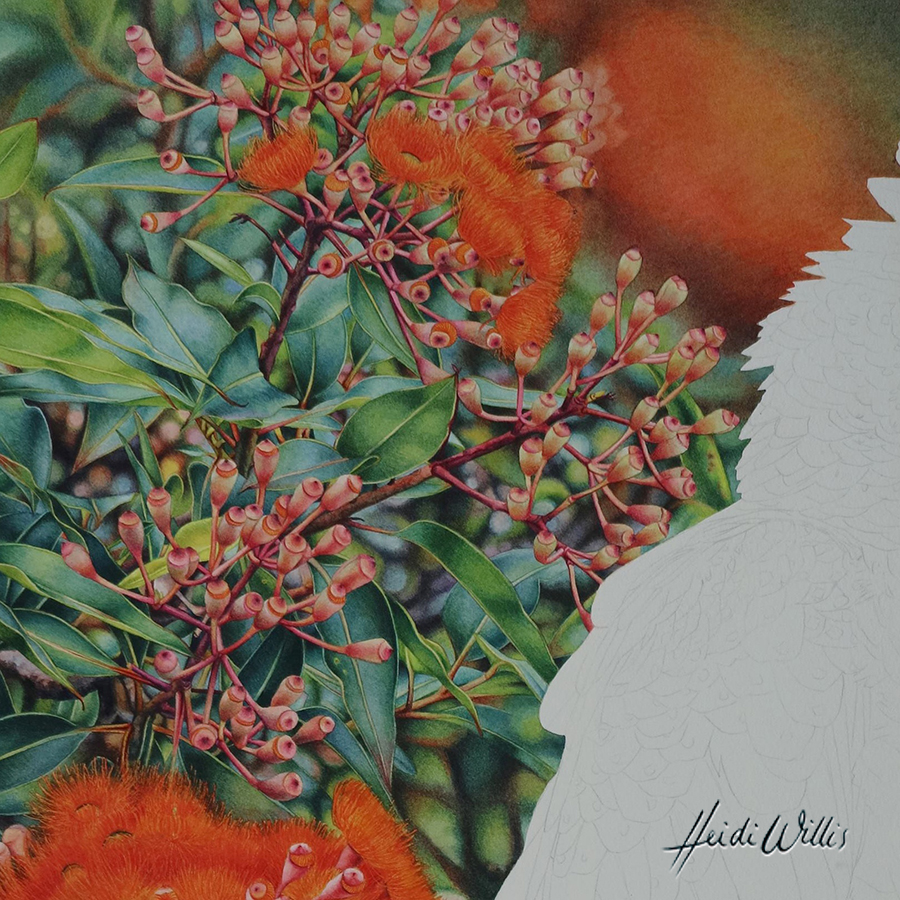 heidi willis_natural history art_eucalyptus_botanical art