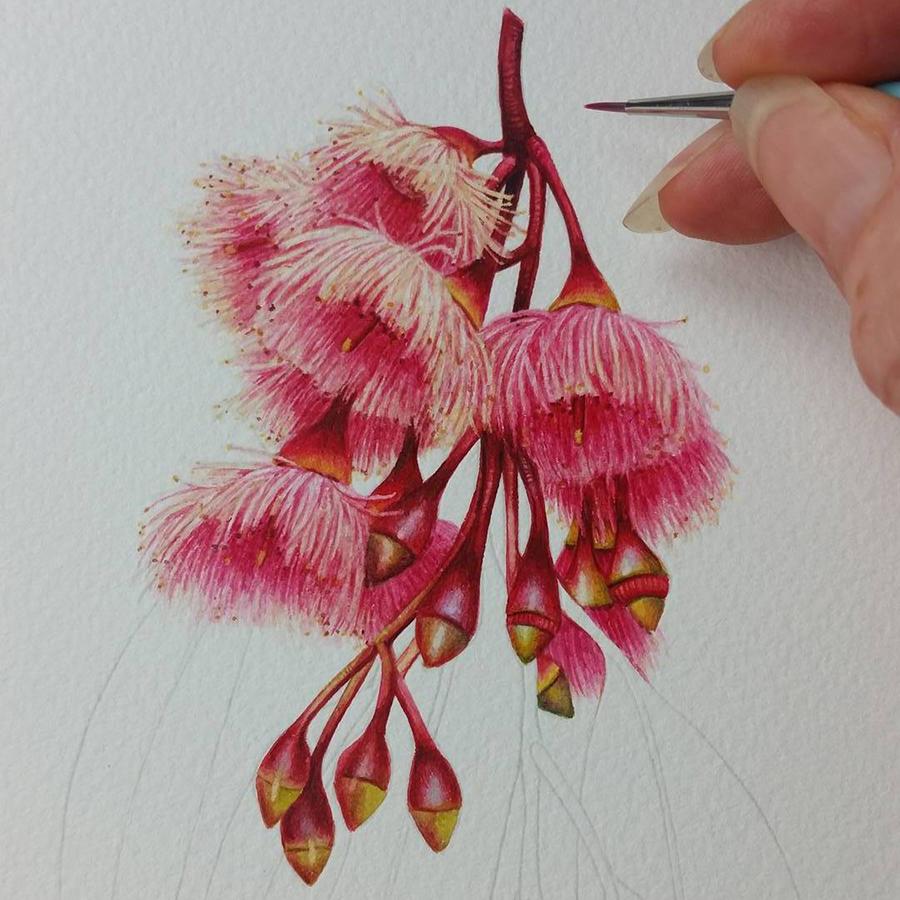 Heidi Willis_Botanical Art_ Illustration_Australian Eucalyptus