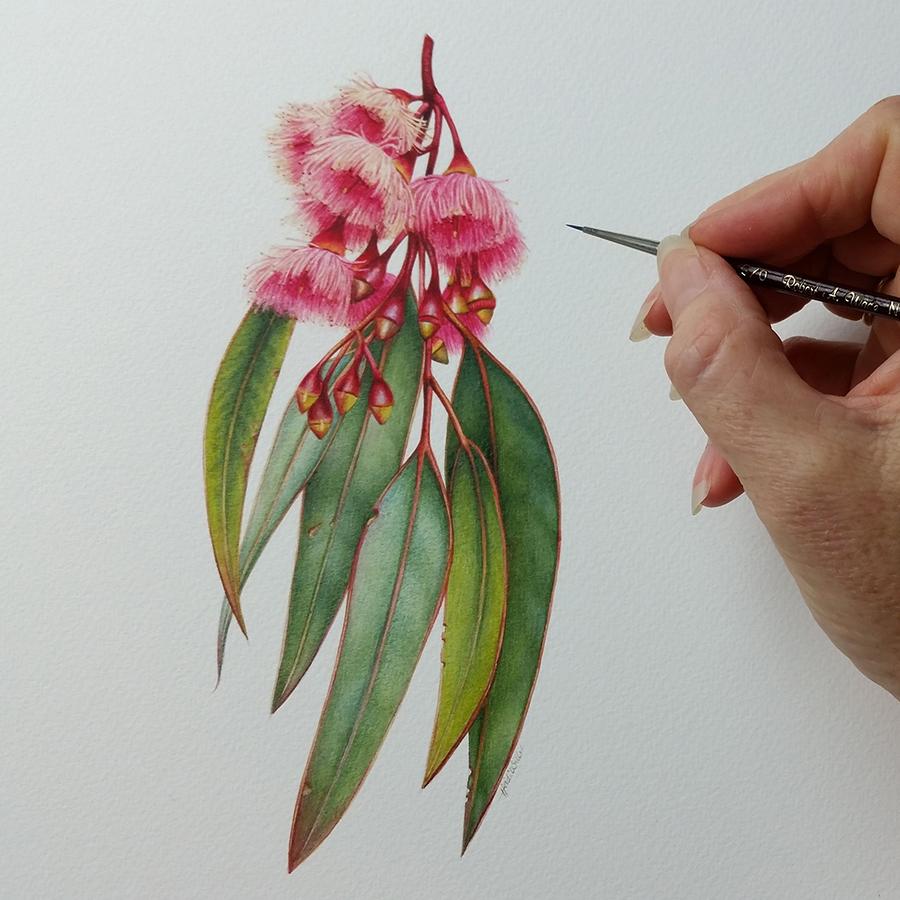 Heidi Willis_Botanical Illustration_Australian Eucalyptus