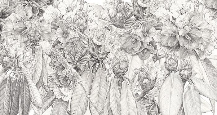 Heidi-Willis_Rhododendron_Pencil_Sketch