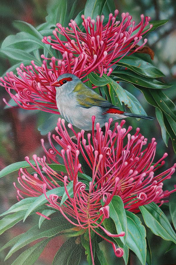 s_Heidi Willis_Red browned Finch_bird painting_waratah